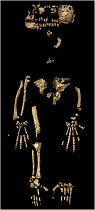 A fairly complete skeleton of Ardipithecus ramidus