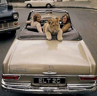 Backseat driver: Christian the lion tours London in the backseat of a soft-top car