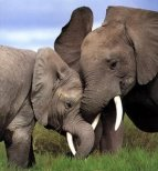 fighting_elephants