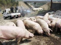 pigs SWINEFLU