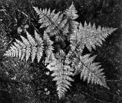 Ferns, In Glacier National Park Montana